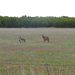 5Adelaide_Waitpinga_Kangaroos